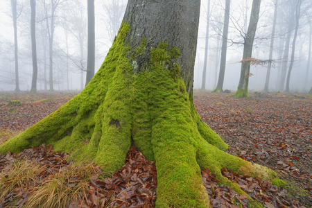 Mossy Tree Trunk in European Beech Forest (Fagus sylvatica), Spessart, Bavaria, Germany LANG_EVOIMAGES