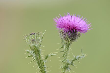 palustre: Close-up of Marsh Thistle (Cirsium palustre) blossom in autumn