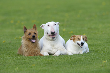 canid: Portrait of Australian Terrier, English Bull Terrier and Jack Russell Terrier together in Meadow, Bavaria, Germany