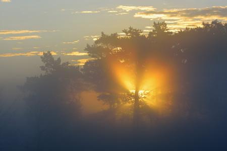 Pine Trees on Misty Morning at Sunrise, Fischland-Darss-Zingst, Mecklenburg-Western Pomerania, Germany