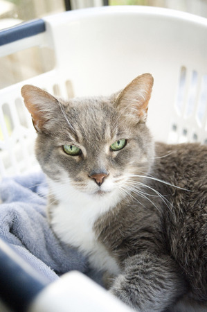 portrait of senior domestic grey and white cat in laundry basket