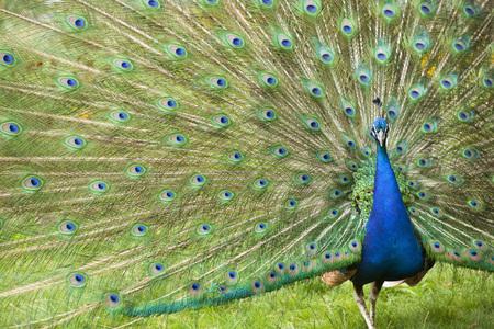 common peafowl: Indian Peacock Displaying Plumage