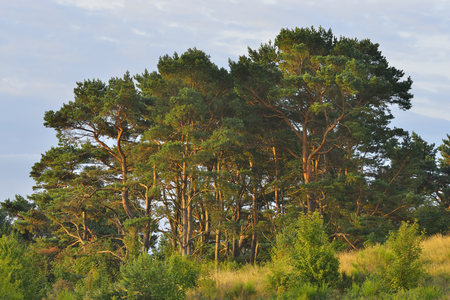 Pine Tree Forest on Dornbusch, Summer, Baltic Island of Hiddensee, Baltic Sea, Western Pomerania, Germany