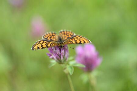 Close-up of Knapweed Fritillary (Melitaea phoebe) in Early Summer, Bavaria, Germany