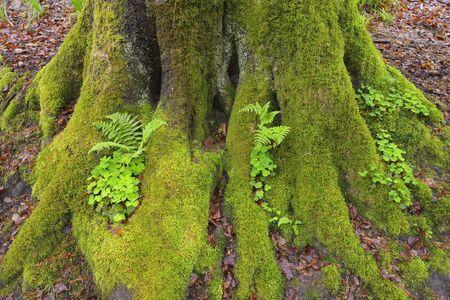 Mossy European Beech Tree Trunk (Fagus sylvatica) with Ferns and Shamrocks, Spessart, Bavaria, Germany