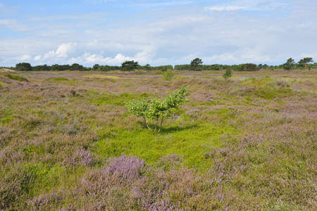 Dune Heath in the Summer, Baltic Island of Hiddensee, Baltic Sea, Western Pomerania, Germany LANG_EVOIMAGES