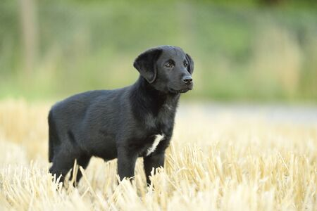 canid: Mixed Black Labrador Retriever standing in a field in summer, Upper Palatinate, Bavaria, Germany