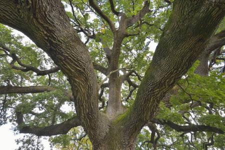 san quirico d'orcia: Large Old Oak Tree, San Quirico dOrcia, Val dOrcia, Province of Siena, Tuscany, Italy