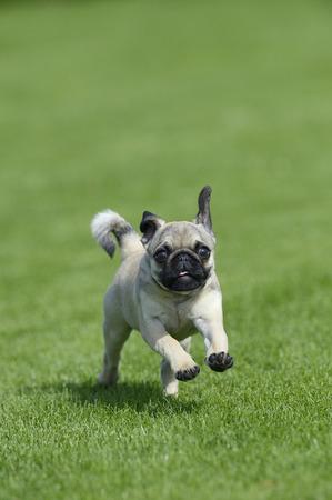 familiaris: Pug Running in Meadow, Bavaria, Germany