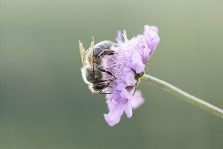 mellifera: Close-up of European Honeybee (Apis mellifera) on Flower in Summer, Upper Palatinate, Bavaria, Germany LANG_EVOIMAGES