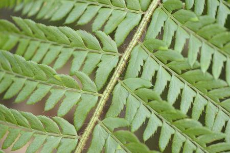 steiermark: Detail of a male fern (Dryopteris filix-mas) leaf in spring, Styria, Austria
