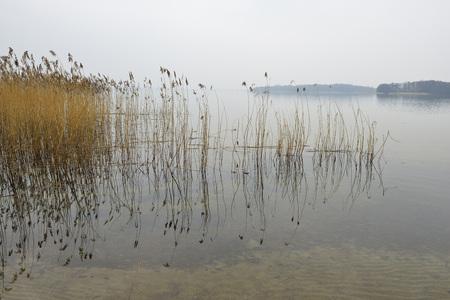 Reeds in water, Lake Scherwin, Schwerin, Western Pomerania, Mecklenburg-Vorpommern, Germany