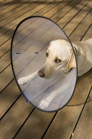 Dog lying on deck outdoors, wearing elizabethan collar looking sad, USA LANG_EVOIMAGES