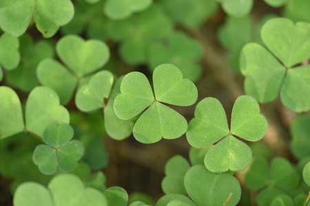 Close-up of or common wood sorrel (Oxalis acetosella) on the forest floor in late summer, Upper Palatinate, Bavaria, Germany LANG_EVOIMAGES