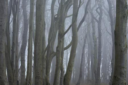 Close-up of trees with fog, Ghost Forest (Gespensterwald), Nienhagen, Westren Pomerania, Mecklenburg-Vorpommern, Germany