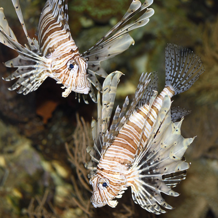 dragonfish: Close-up of two red lionfish (Pterois volitans) in an aquarium, Germany LANG_EVOIMAGES