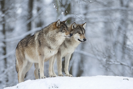 canid: Two wolves (Canis lupus) in winter