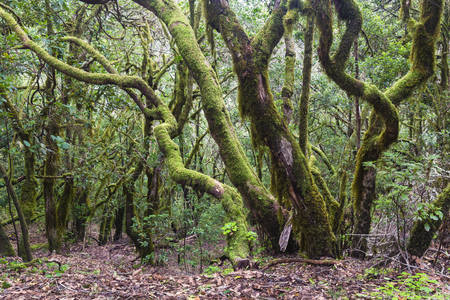 Dense Vegetation in Cloud Forest, Garajonay National Park, La Gomera, Canary Islands, Spain