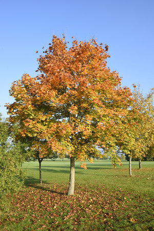 acer: Scenic view of a Norway maple (Acer platanoides) tree in autumn, Upper Palatinate, Bavaria, Germany