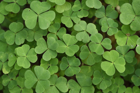 Close-up of Wood Sorrel (Oxalis acetosella) on Forest Floor in Late Summer, Upper Palatinate, Bavaria, Germany