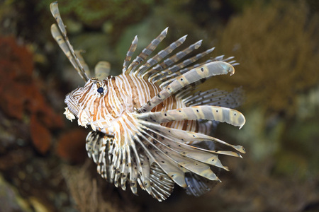 dragonfish: Close-up of a red lionfish (Pterois volitans) in an aquarium, Germany