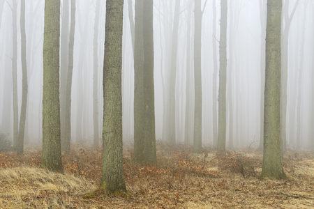 Coastal Beech Forest with Fog, Gespensterwald, Nienhagen, Bad Doberan, Western Pomerania, Germany LANG_EVOIMAGES