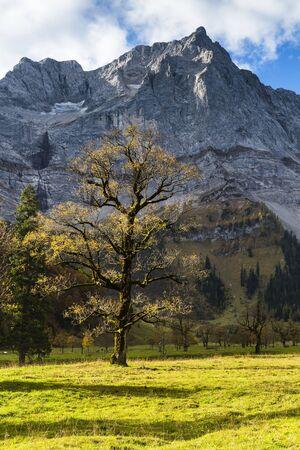 acer: Old Sycamore Maple (Acer pseudoplatanus) Tree and Karwendel Range, Grosser Ahornboden, Alpine Park Karwendel, Tyrol, Austria LANG_EVOIMAGES