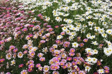 daisys: Close-up of field of pink and white daisys, Republic of Ireland LANG_EVOIMAGES