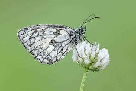trifolium: Marbled White (Melanargia galathea) Butterfly on Clover Flower, Bavaria, Germany LANG_EVOIMAGES
