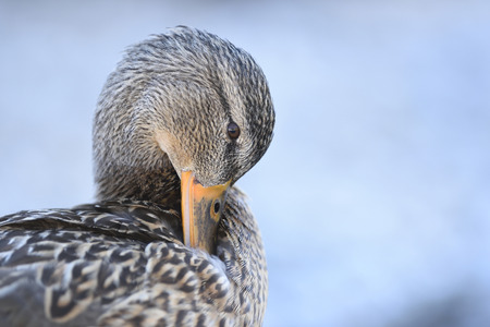 steiermark: Close-up portrait of a mallard duck (Anas platyrhynchos) preening, Lake Grundlsee in winter, Styria, Austria