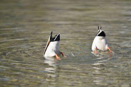 steiermark: Close-up of two mallard ducks (Anas platyrhynchos) with their heads underwater, on Lake Grundlsee in winter, Styria, Austria