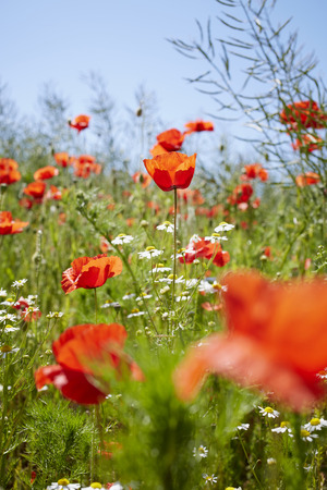 Red Field Poppies and Camomile in Meadow in Summer, Denmark