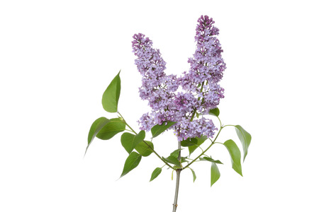 lamiales: Close-up of Purple Lilac (syringa) flowers against white background, Gremany