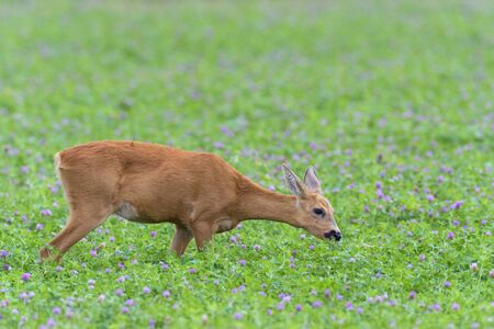 red clover: Western Roe Deer (Capreolus capreolus) in Red Clover, Hesse, Germany, Europe