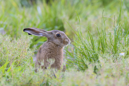 leporidae: European Brown Hare (Lepus europaeus), Hesse, Germany