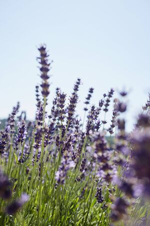 lamiales: Close-up of Field of Lavender in Summer, Carinthia, Austria LANG_EVOIMAGES