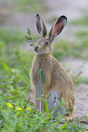 European Brown Hare (Lepus europaeus), Hesse, Germany