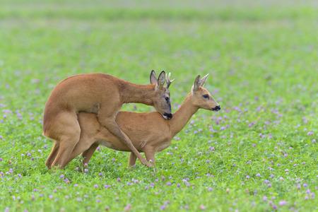 red clover: Western Roe Deers (Capreolus capreolus) in Red clover, Mating, Roebuck, Hesse, Germany, Europe LANG_EVOIMAGES