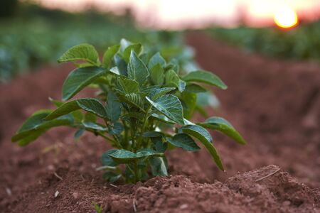 maritimes: Close-up of Russet Potato Plant in Red Earth Field at Sunset, Prince Edward Island, Canada
