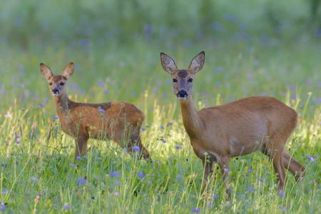 European Roe Deer (Capreolus capreolus) Mother and Fawn in Meadow, Hesse, Germany LANG_EVOIMAGES