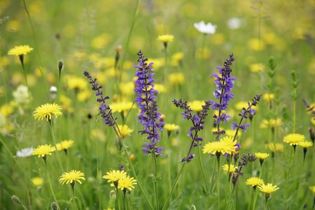 lamiales: Flower Meadow with Meadow Clary and Hawkbit, Munich, Upper Bavaria, Bavaria, Germany LANG_EVOIMAGES