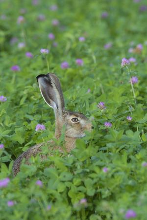 lapin: Lièvre européen (Lepus europaeus), Hesse, Allemagne