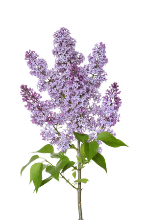 lamiales: Close-up of Purple Lilac (syringa) flowers against white background, Germany