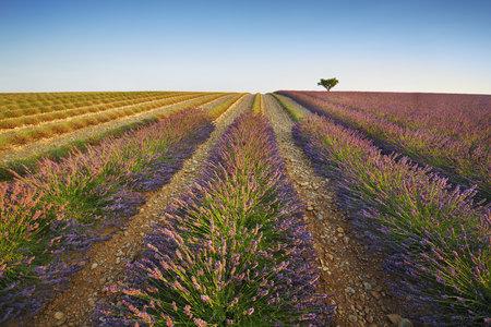 lamiales: Lavender Field and Almond Tree, Plateau de Valensole, Alpes-de-Haute-Provence, Provence, Provence-Alpes-Cote dAzur, France