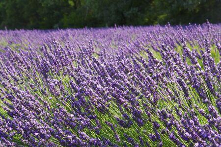 lamiales: Lavender (Lavandula), Puimoisson, Plateau de Valensole, Alpes-de-Haute-Provence, Provence, Provence-Alpes-Cote dAzur, France LANG_EVOIMAGES
