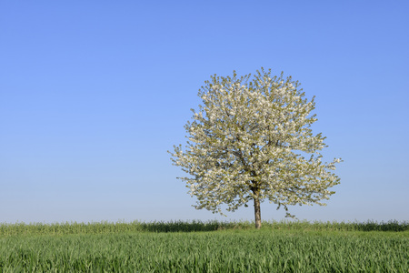 Cherry Tree in blossom in meadow, spring. Baden Wuerttemberg, Schwarzwald, Germany
