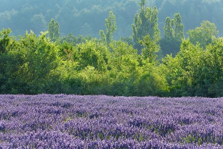 lamiales: Lavender Field, Puimoisson, Plateau de Valensole, Alpes-de-Haute-Provence, Provence, Provence-Alpes-Cote dAzur, France LANG_EVOIMAGES