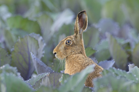 leporidae: European Brown Hare (Lepus europaeus) in Red Cabbage Field in Summer, Hesse, Germany