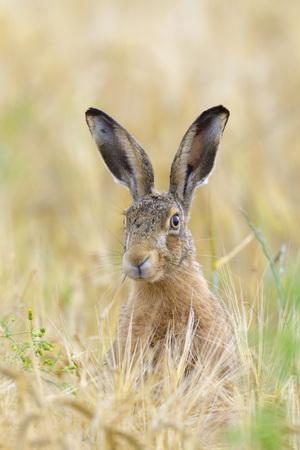 lapin: Lièvre d'Europe (Lepus europaeus) dans le champ de céréales, Hesse, Allemagne LANG_EVOIMAGES