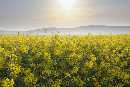 canola: Canola Field in Morning, Roellbach, Spessart Range, Bavaria, Germany